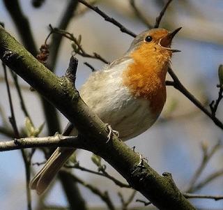 Je suis belle - Dessin oiseau qui chante ...