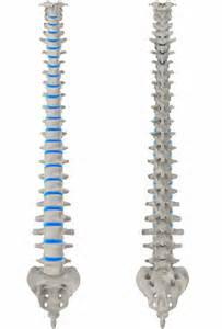 squelette d'une colonne vertébrale