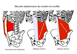 Muscles transverse et obliques