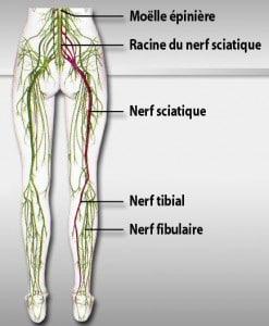 Chemin du nerf sciatique